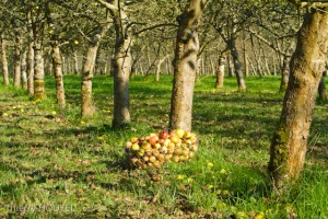Pommes au pied de pommier basse tiges