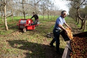 Récolte des pommes basses tiges