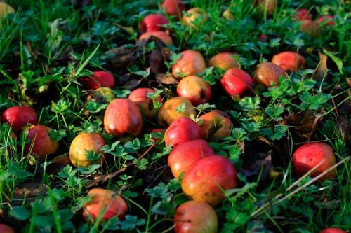 pommes par terre avant récolte