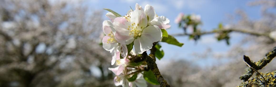 Fleur-pommiers