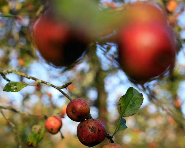 Pommes du verger des Cidres Lemasson